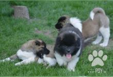 Inzercia psov: Americká akita na prodej