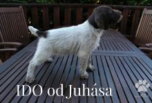Inzercia psov: Predám šteniatka Český fúzač