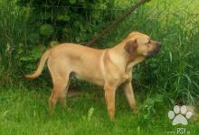Inzercia psov: Perro de Presa canario - Kanárská doga