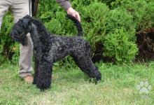 Inzercia psov: Prodám kerry blue teriér