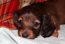 Inzercia psov: jazvečík dlhosrstý trpasličí