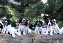 Inzercia psov: Velký munsterlandský stavač - štěniatka