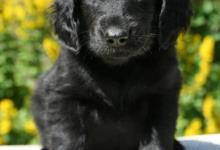 Inzercia psov: Štěňátka flat coated retrievera s PP