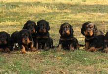Inzercia psov: Zadám štěňátka Gordonsetra