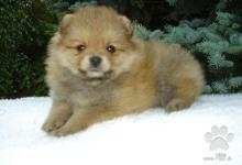 Inzercia psov: Německý špic malý a trpasličí s PP