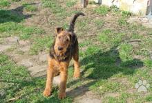 Inzercia psov: Airedale terrier (erdel. 9 měsíčni fenka s PP