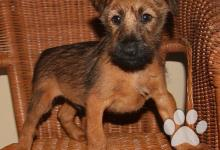 Inzercia psov: Irský teriér - pes s PP