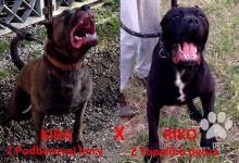 Inzercia psov: Bandog šteniatko s Pp