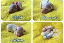 Inzercia psov: Nádherná štěňátka boloňského psíka