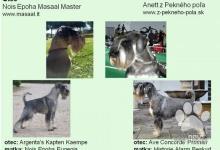 Inzercia psov: Šteniatka bradáča stredného korenie a soľ