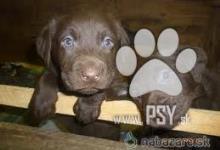 Inzercia psov: čistokrvné čokoládové fenky labradora