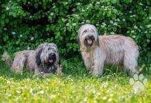 Inzercia psov: Katalánsky ovčiak - Medzinárodný šampión
