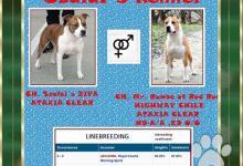 Inzercia psov: Americký stafordšírsky teriér