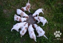 Inzercia psov: Írský červenobiely seter s PP