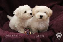Inzercia psov: štěňátko Coton de Tulear s PP
