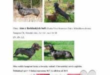 Inzercia psov: Štěňátka drsnosrstého jezevčíka na prodej