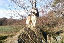 Inzercia psov: Nabízím psa ke krytí