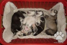 Inzercia psov: Aljašský malamut šteniatka