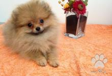 Inzercia psov: Luxusní MINI fenečka pomeraniana s PP