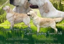 Inzercia psov: Zlatý Retriever – volná štěňátka