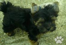 Inzercia psov: Jorkšírský teriér - Yorkshire Terrier