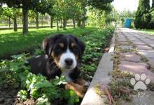 Inzercia psov: Predaj šteniatok Velkého švajč. salašníckeho psa