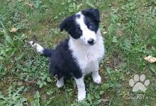 Inzercia psov: Predám čistokrvné šteniatko bez PP