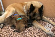 Inzercia psov: Belgický ovčák Tervueren štěňata s PP
