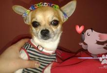 Inzercia psov: Ponukam na kritie civava