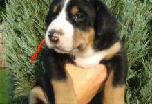 Inzercia psov: VELKÝ ŠVÝCARSKÝ SALAŠNICKÝ PES