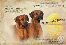Inzercia psov: šteniatka plemena Rhodézsky Ridgebak