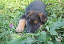 Inzercia psov: šteňatá NO