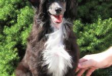 Inzercia psov: ČÍNSKY CHOCHOLATÝ PES S PP (LABUTIENKA)