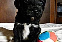 Inzercia psov: PWD / Portugalský vodní pes CHS EIZDEN