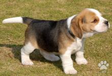 Inzercia psov: Fantastický tricolor Beagle šteňatá pre vás tento