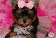 Inzercia psov: Darček šteniatko Yorkshirskeho teriera (Mini Toy)