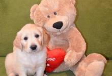 Inzercia psov: Zlatý Retriever štěňátka – volní pejsci