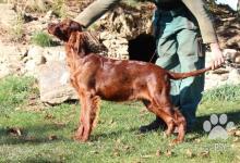 Inzercia psov: Irský setr - 5 měsíční štěňata FCI PP