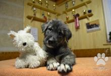 Inzercia psov: IRSKÝ VLKODAV  - krásná štěňátka