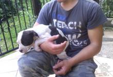 Inzercia psov: predám šteňatá