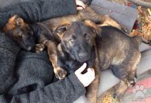 Inzercia psov: Prodám tmavě vlkošedou fenku Německého ovčáka s PP