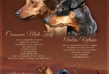 Inzercia psov: Štěňata trpasličího pinče s PP
