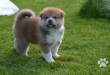 Inzercia psov: šteniatko psa akita inu