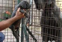 Inzercia psov: Německá doga modrá s PP