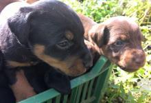 Inzercia psov: šteniatka Jagdterriera na predaj