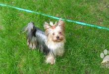 Inzercia psov: Prodám štěňata Yorkshire Terriera a Border kolie