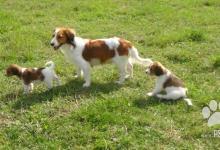 Inzercia psov: Kooikerhondje štěňátko (pejsek) s PP
