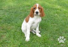 Inzercia psov: Írský červenobiely seter