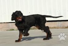 Inzercia psov: 4 měsíční pejsek Gordonsetra