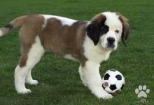 Inzercia psov: Bernardýn - fenka
